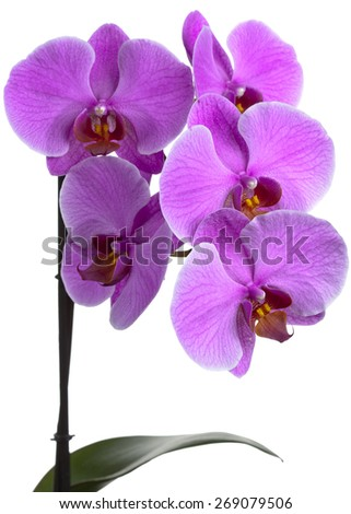 Branch of blooming orchid 