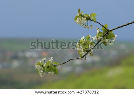 Branch of blossoming apple tree with flowers and foliage in foreground of rural background - stock photo