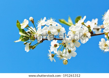 branch of blossoming cherry on blue sky background - stock photo