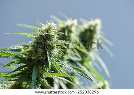 branch of cannabis plant with buds on grey-blue background - stock photo