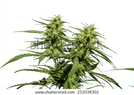 branch of cannabis plant with buds on white background - stock photo