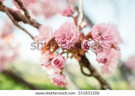 branch of cherry blossom, close up