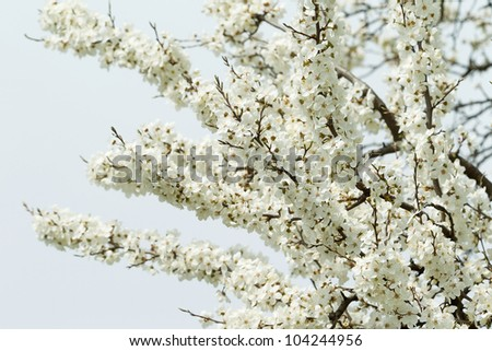 Branch of cherry blossoms - stock photo