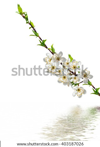 branch of cherry blossoms isolated on white background.