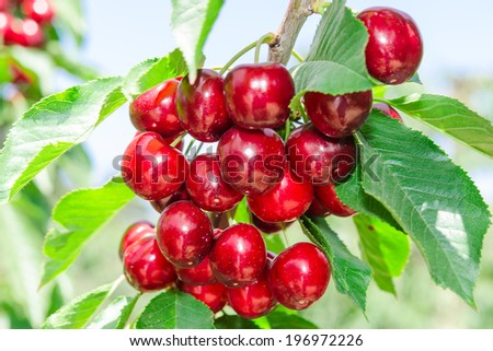 Branch of cherry tree with dark red ripe berries and sunlit leafage against blue sky - stock photo