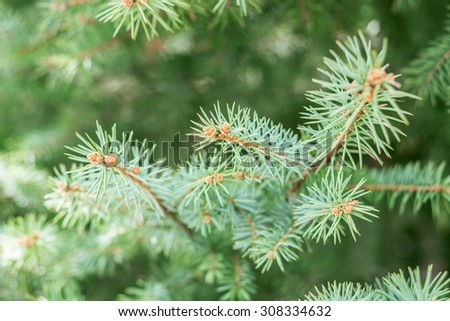 branch of coniferous tree. soft focus