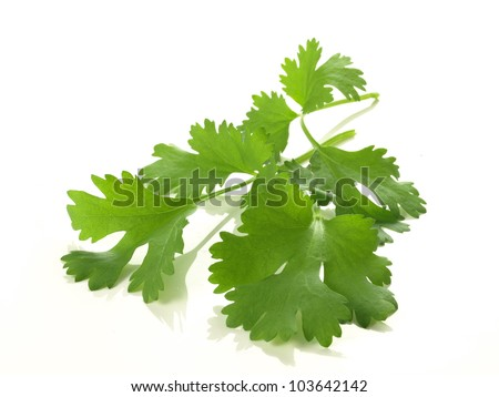 Branch of coriander on isolated white background