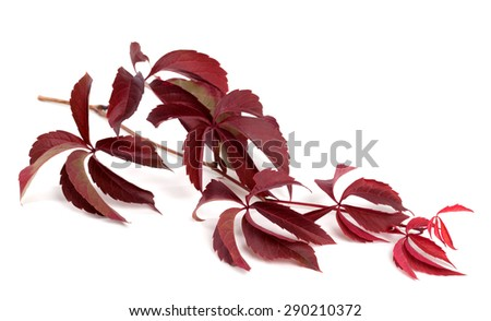 Branch of dark red autumn grapes leaves (Parthenocissus quinquefolia foliage). Isolated on white background. - stock photo
