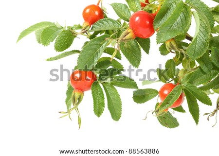 Branch of dog rose. Image isolated over pure white background - stock photo