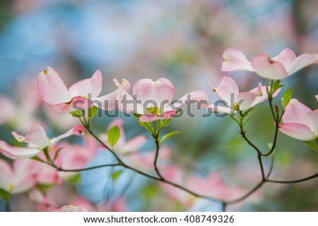 Branch of eastern pink dogwood trees in bloom in the spring with blue sky background - stock photo