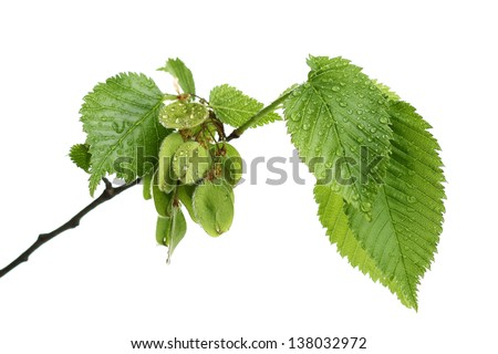 Branch of European White Elm with water drops on white - stock photo