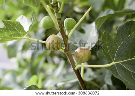 Branch of fig with four fruits- two ripe and two green