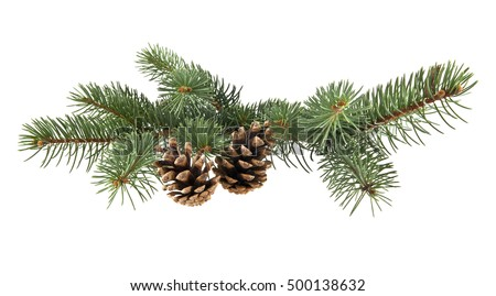 branch of fir-tree and cone on a white background closeup