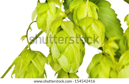 Branch of fresh green hop on white - stock photo