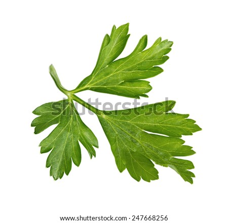 Branch of fresh parsley isolated on white - stock photo