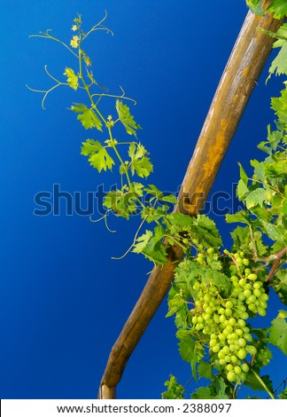 Branch of grapevine in early summer reaching up towards cloudless blue sky, focus is on a cluster of unripe white grapes in the lower right corner - stock photo