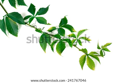 Branch of green grapes leaves. Parthenocissus quinquefolia foliage. Isolated on white background. - stock photo