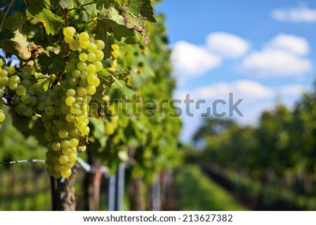 Branch of green grapes on vine in vineyard - stock photo