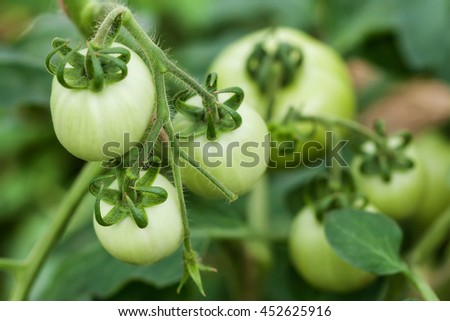 Branch of green underripe tomatoes in greenhouse, selective focus