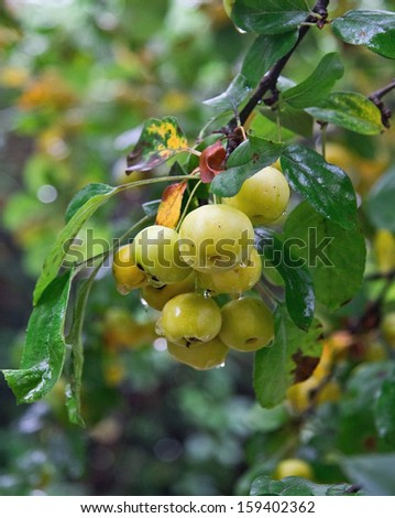 Branch of growing apples with dew - stock photo