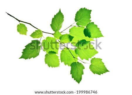 Branch of hazel with translucent green leaves isolated on white    - stock photo