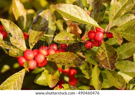 Branch of Holly Berries in Sunny Day