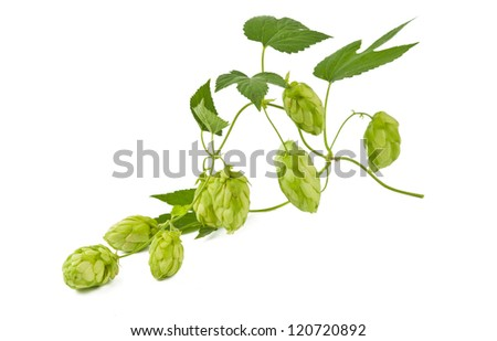 branch of hops isolated on a white background