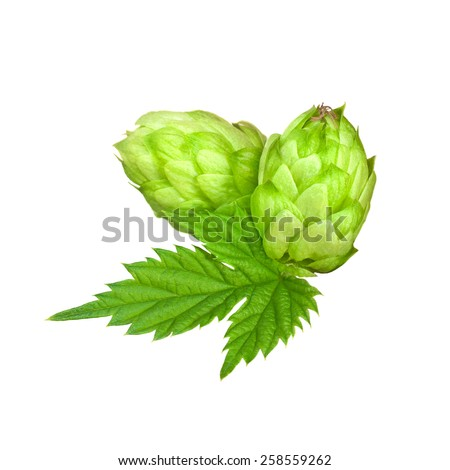 Branch of hops isolated on a white background. - stock photo