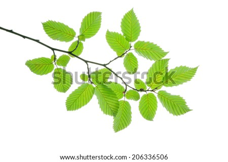 Branch of hornbeam with green leaves isolated on white    - stock photo