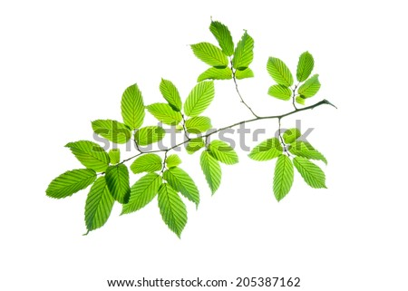 Branch of hornbeam with green toothed leaves isolated on white    - stock photo