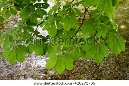 Branch of horse chestnut leaves over a river