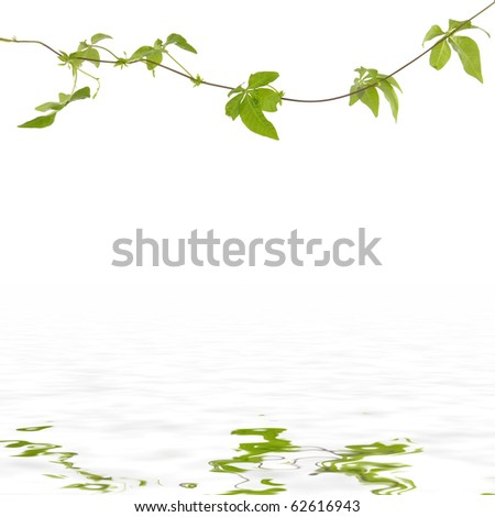 Branch of ivy leaf reflection - stock photo