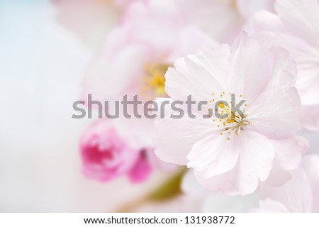 Branch of Japanese cherry (Sakura) with pink blossom