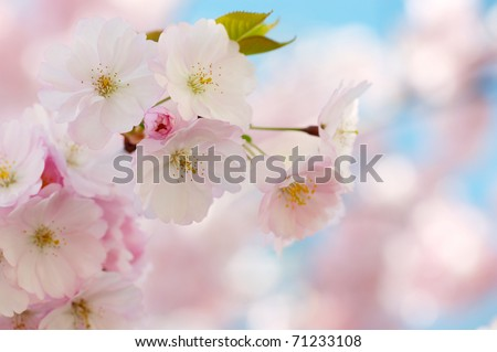 Branch of Japanese cherry with blossom - stock photo