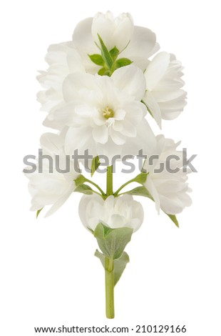 Branch of Jasmine Flowers Isolated on White Background - stock photo