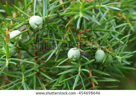 branch of juniper with berries on forest background - stock photo
