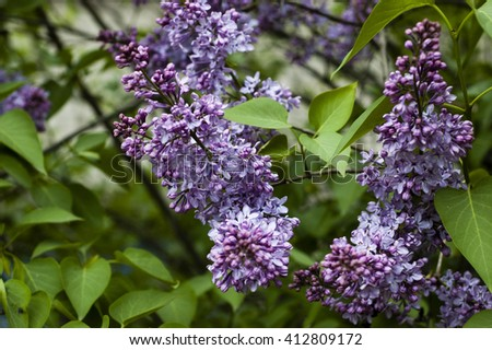 Branch of lilac and green leaves