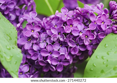 Branch of lilac flowers with green  leaves, floral natural background, soft focus - stock photo