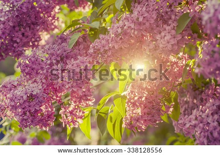 Branch of lilac flowers with the leaves,  vintage retro hipster image with sunshine - stock photo