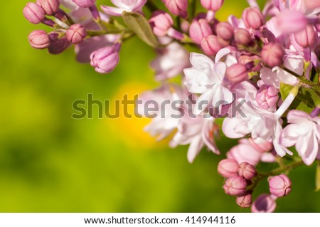 branch of lilac in nature - stock photo