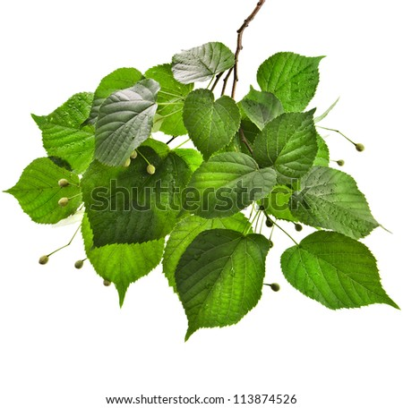 Branch of  linden tree with wet green leaves isolated on white background - stock photo
