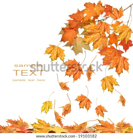Branch of maple leaves isolated on white background - stock photo