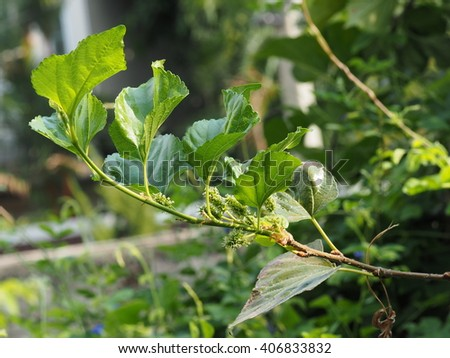branch of morus buds with leaves nature background. wild mulberry, morus alba