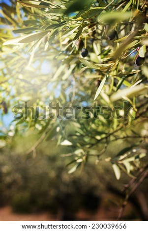 Branch of olive tree with leaves and olives - stock photo