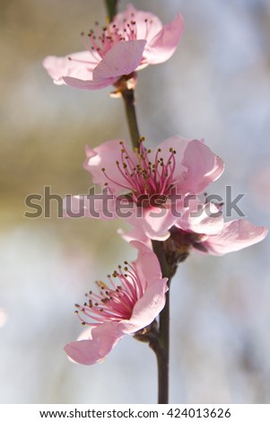 Branch of peach tree with flowers closely. - stock photo
