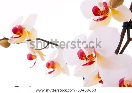 Branch of phalaenopsis with flowers and buds. - stock photo