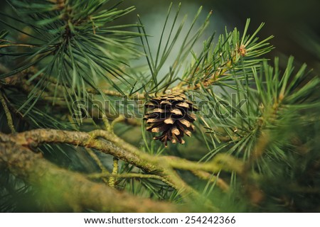 Branch of Pine Tree with needles and Pine Cone - stock photo