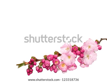 Branch of pink cherry- flowers isolated on white. - stock photo