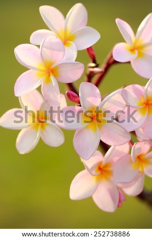 Branch of pink flowers frangipani plumeria - stock photo