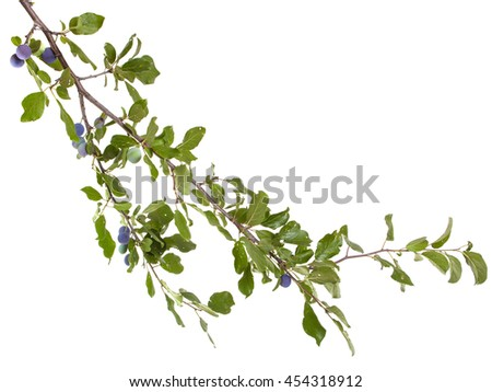 branch of plum tree. isolated on white background